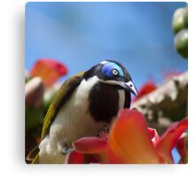 Blue Faced Honey Eater Close Up  Canvas Print