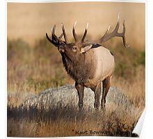 Bull Elk Bugle Poster