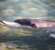 Dolphin at Monkey Mia Western Australia by Doug Cliff