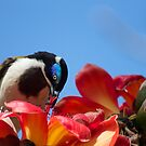Blue Faced Honey Eater  by Margaret Stanton