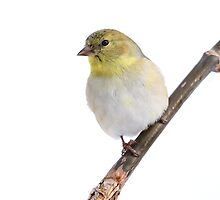 Freezing Gold / American Goldfinch  by Gary Fairhead