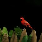 Red Cardinal by RockyWalley