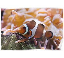 """Where's ....?"" - clownfish Poster"