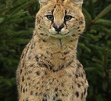 Serval Portrait by Mark Hughes