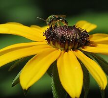 Green Metalic Bee on Blackeyed Susan by Ron Russell