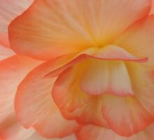Begonia in Shades of Apricot Sticker