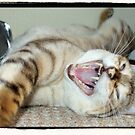 Yawning Bengal Kitty - Photography by Dominic Hallwood