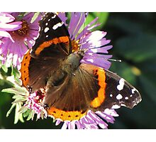 Admiral Wings Photographic Print
