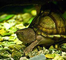 Razorback Musk Turtle by Diego Re