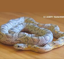 Anery Sunkissed Corn Snake by Airwarrior