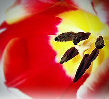 Two Toned Tulip by Aj Finan