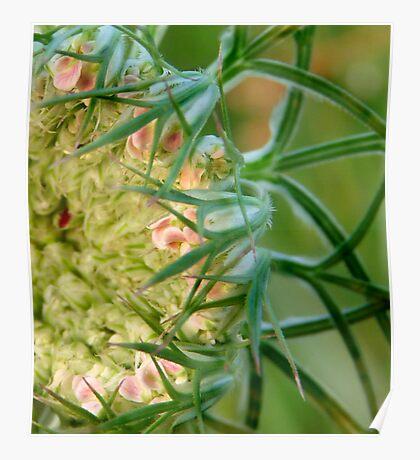 Queen Ann's Lace (Daucus carota) Poster