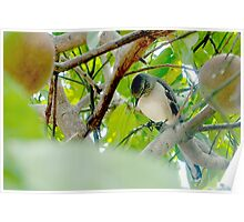 Mockingbird in my fruit tree Poster