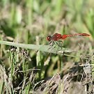 Red Dragonfly by Adah