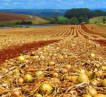 Flowerdale Onions Drying by Paul Campbell  Photography