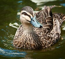 Pacific Black Duck - Watching Me by Chris  Randall