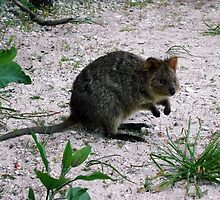 Quokka, Rottnest Island, W.A. by Christina Backus