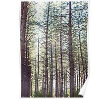 Tall trees in the forest Poster