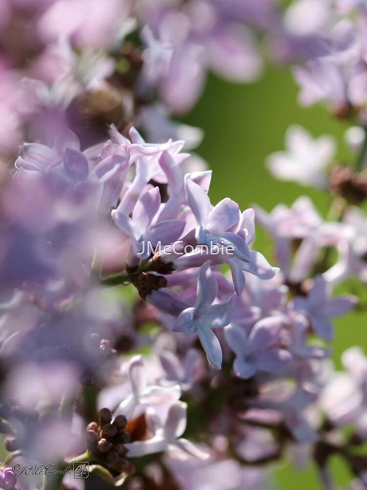 Common Purple Lilac by JMcCombie