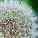 dandelion by Flux Photography