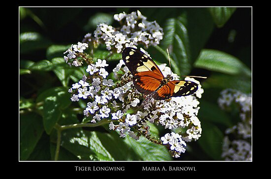 Tiger Longwing - - Posters & More by Maria A. Barnowl