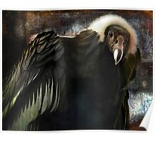 Andean Condor Portrait. I think she's beautiful but to her I am just another piece of meat. Poster