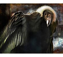 Andean Condor Portrait. I think she's beautiful but to her I am just another piece of meat. Photographic Print