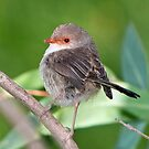 Female Fairy Wren at Laratinga by Barb Leopold