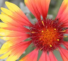 Gazania by STHogan