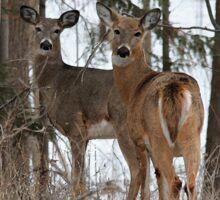 White-Tailed Deer Sticker