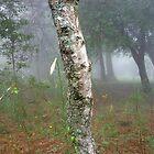 Birch in mist by Amanda Gazidis
