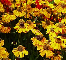 Cone Flowers by AnnDixon