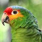 Red-lored Amazon Parrot  by Teresa Zieba