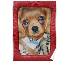 Ruby Sweetness ~ Cavalier King Charles Spaniel Poster
