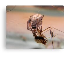 Orb Weaver munching on a crane fly. Canvas Print