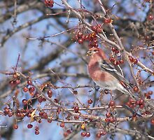 Spot The Red Pine Grosbeak by DigitallyStill