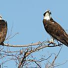 An osprey couple! by jozi1