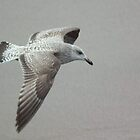 Gull in Flight by indianpeteee
