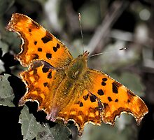 Comma by Wulfrunnut