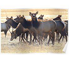 Montana elk herd in January Poster