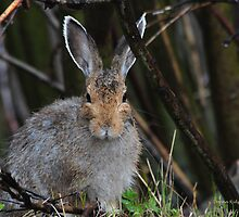 Wet Rabbit, at Garnet, Montana by Donna Ridgway