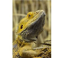 Australian Inland Bearded Dragon Reptile Photographic Print