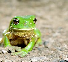 Litoria Caerula - Green tree frog on ground by clearviewstock