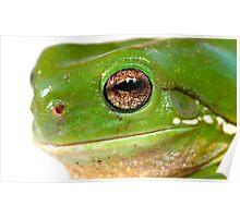 litoria caerula  green tree frog closeup Poster