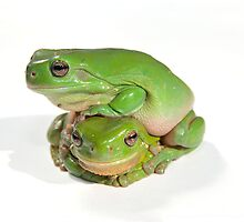 two litoria caerula green tree frogs one on top of the other  by clearviewstock