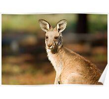 an eastern gray kangaroo in natural habitat up close Poster