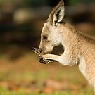 Young Eastern Grey Kangaroo by clearviewstock
