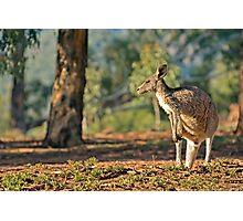 photo of an australian eastern grey kangaroo Photographic Print