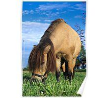 Miniature horse (closeup) Poster