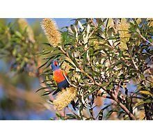 Rainbow lorikeet in Banksia Photographic Print
